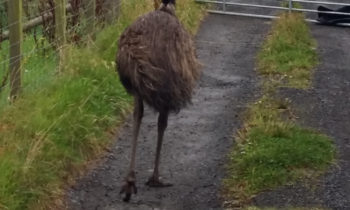 emu-rescue-2