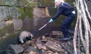 Scottish SPCA rescue badger stuck down mine shaft in Bonnyrigg