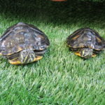 SSPCA investigate after terrapins abandoned in Musselburgh