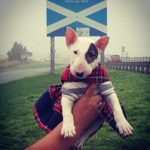 Charity Bull Terrier event to be held in Edinburgh